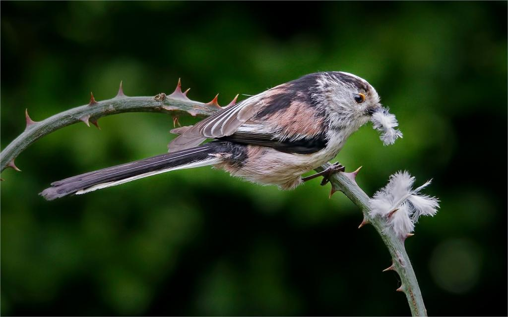 Long Tailed Tit with White Feather by David Adamson - CCC