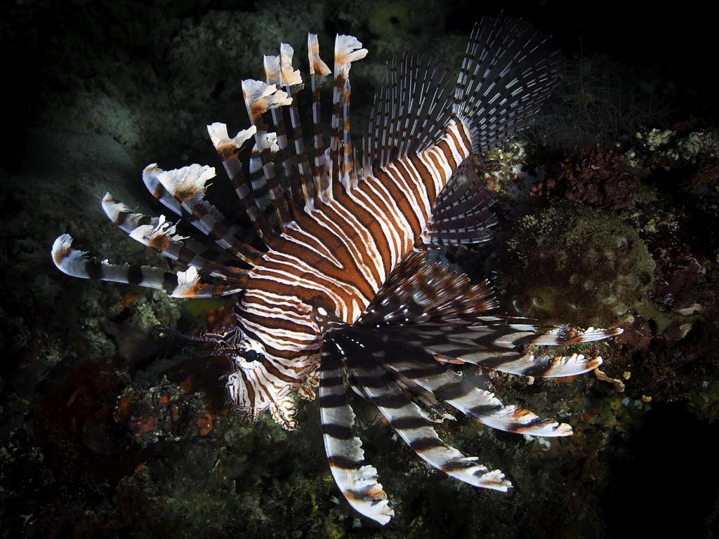 Lion Fish on Reef by David Reinhard