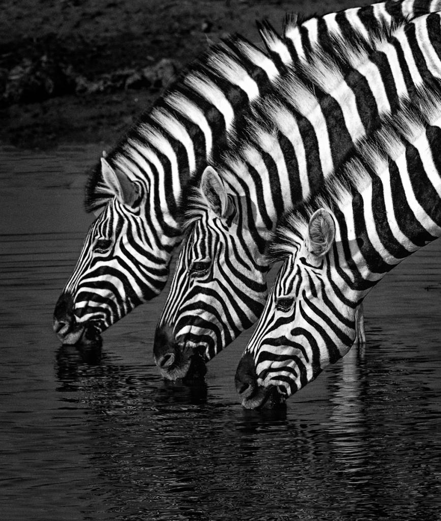 Zebra Stripes by Suzanne Calder