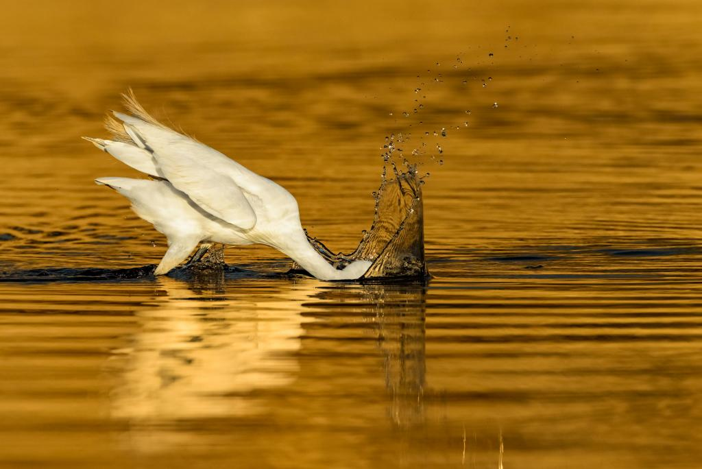 Egret Fishing by Suzanne Calder