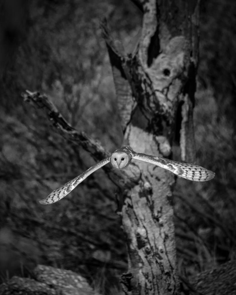 Aussie Barn Owl by Graeme Addie