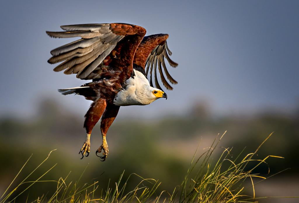 African Fish Eagle Takeoff by Peter Calder