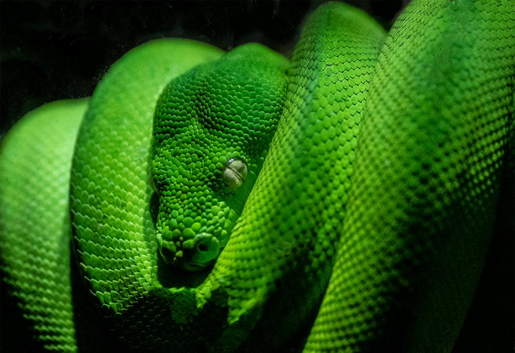 Green Tree Python by Chris Costello