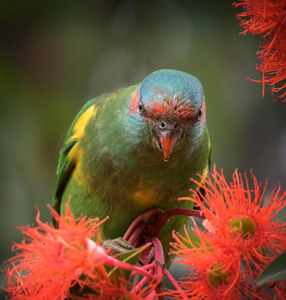 Musk Lorikeet by Margaret Edwards