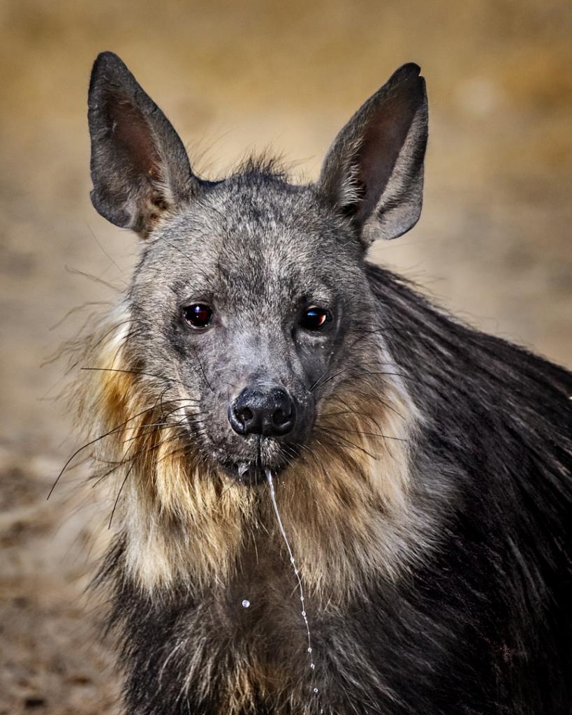 Brown Hyena by Suzanne Calder