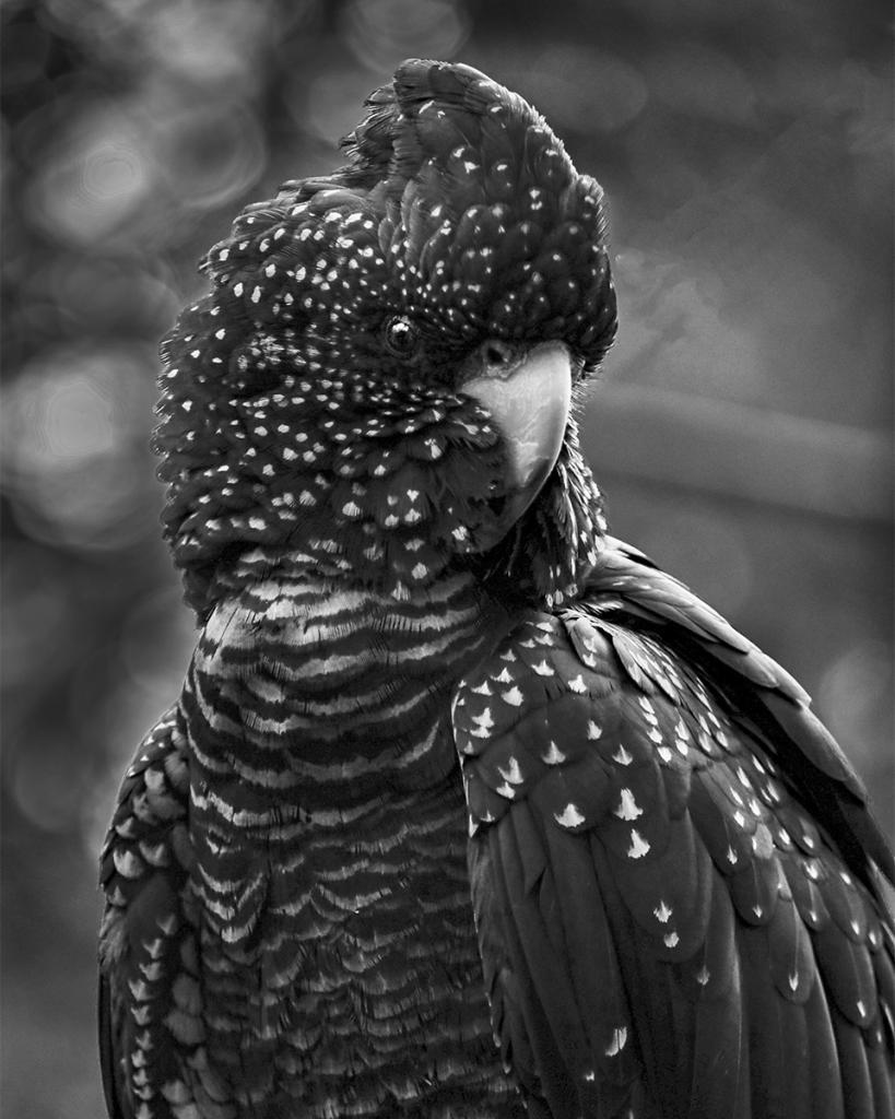 Black Cockatoo by Liz Furey