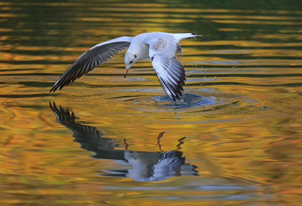 Black Headed Gull by Ron Cooper - CCC