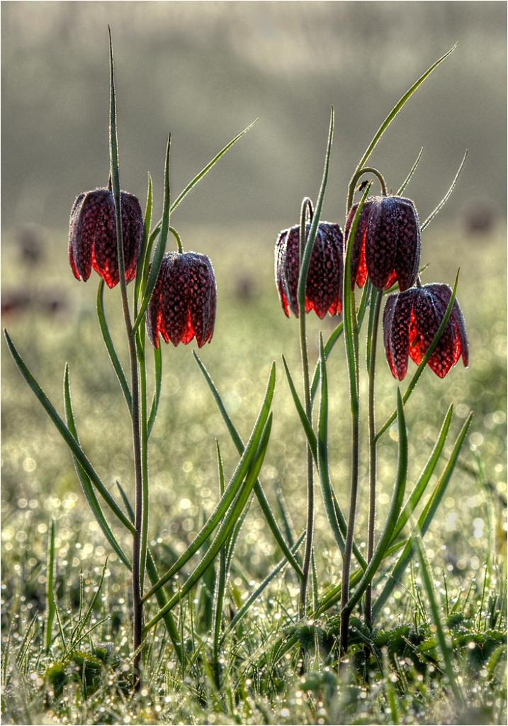 Snakeshead Fritillaries by Michael Krier - CCC