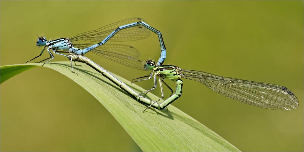 Azure Damselflies by David Adamson - CCC