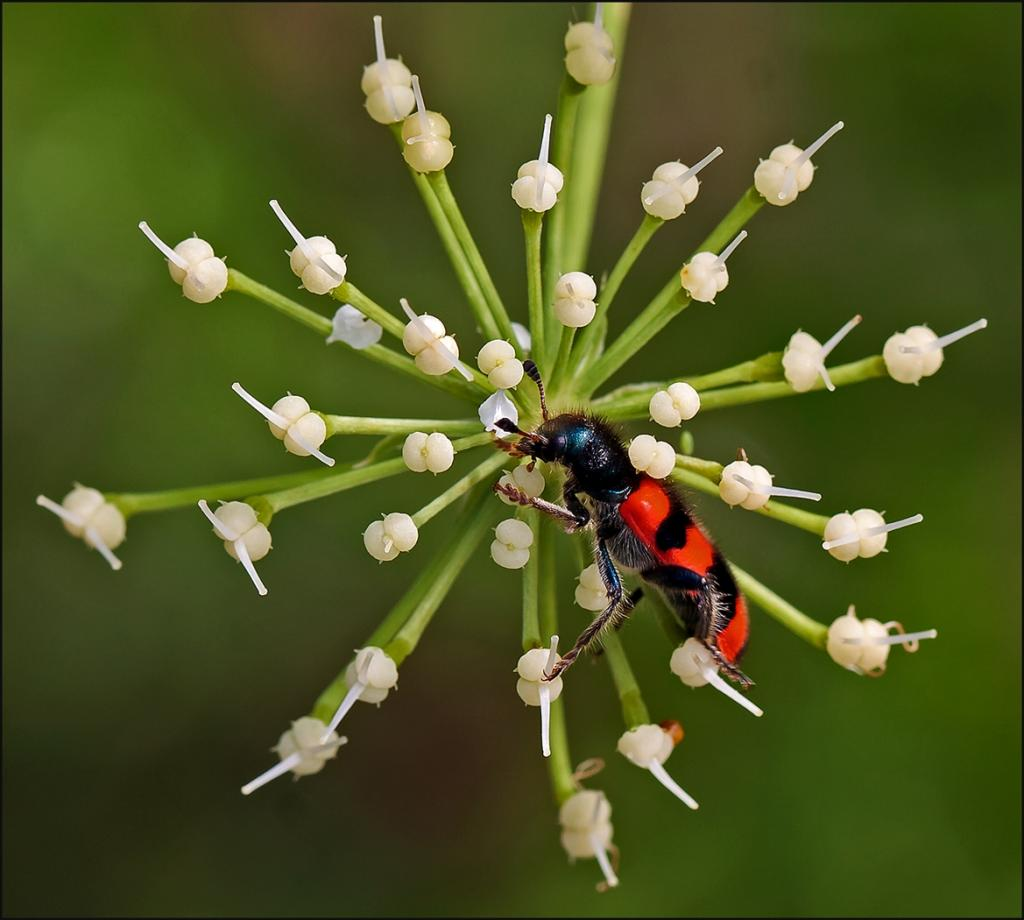 Provencal Beetle by Janice Clark - CCC