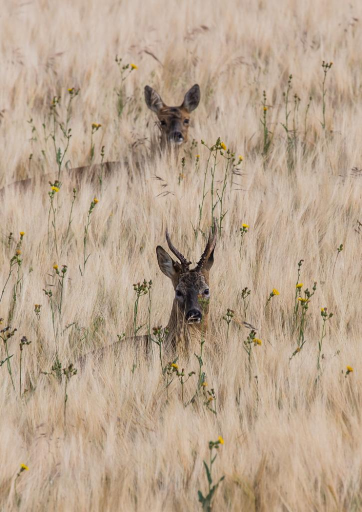Roe Buck and Doe by Ian Boyd - CCC