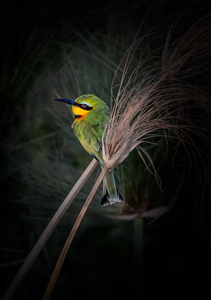 Little Bee-eater by Peter Calder