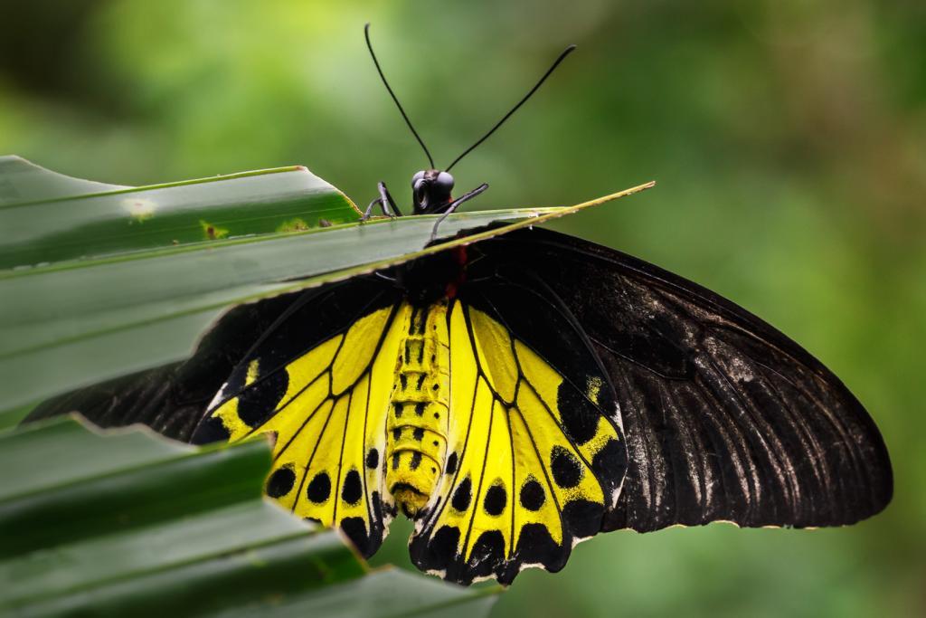 Malaysian Birdwing Butterfly by Christine Smith